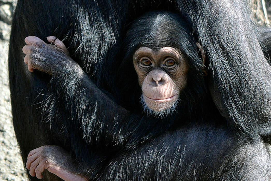 Chimpanzee, Zuhura