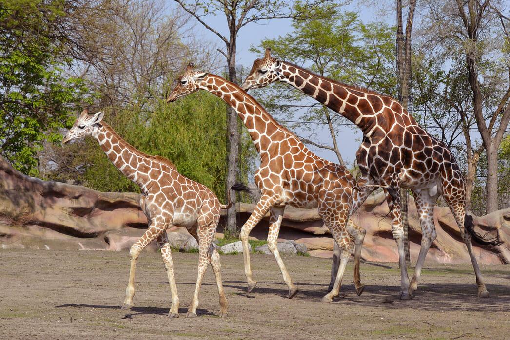 Giraffe M Giraffe - Detro...