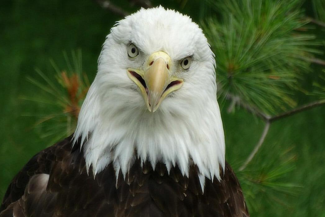 Bald Eagle Detroit Zoo
