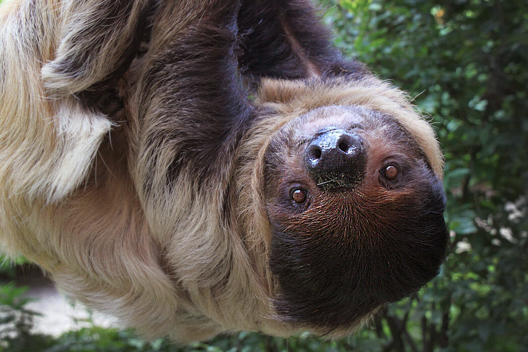 A photo of a sloth, looking at the camera lens