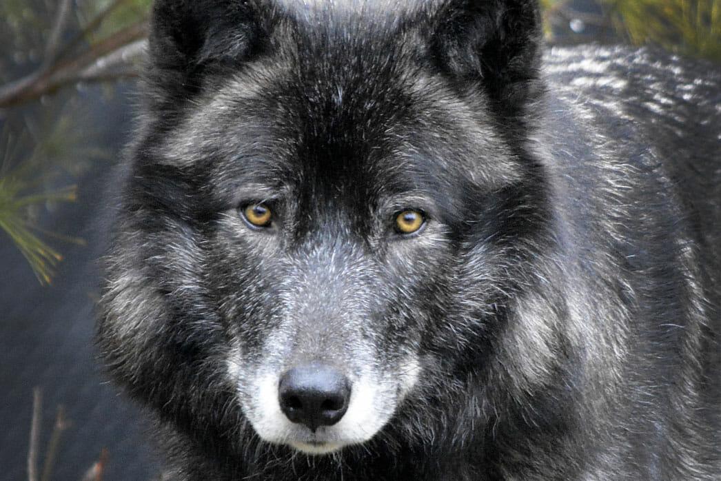 Wolf - Detroit Zoo